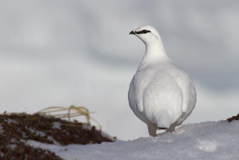 在雪站立在边缘的公岩石雷鸟 免版税图库摄影