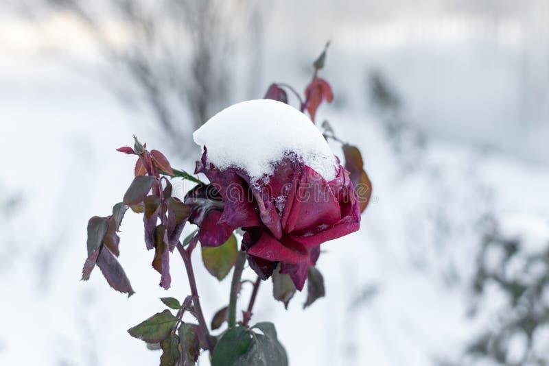 在雪结冰的红色玫瑰 免版税库存照片