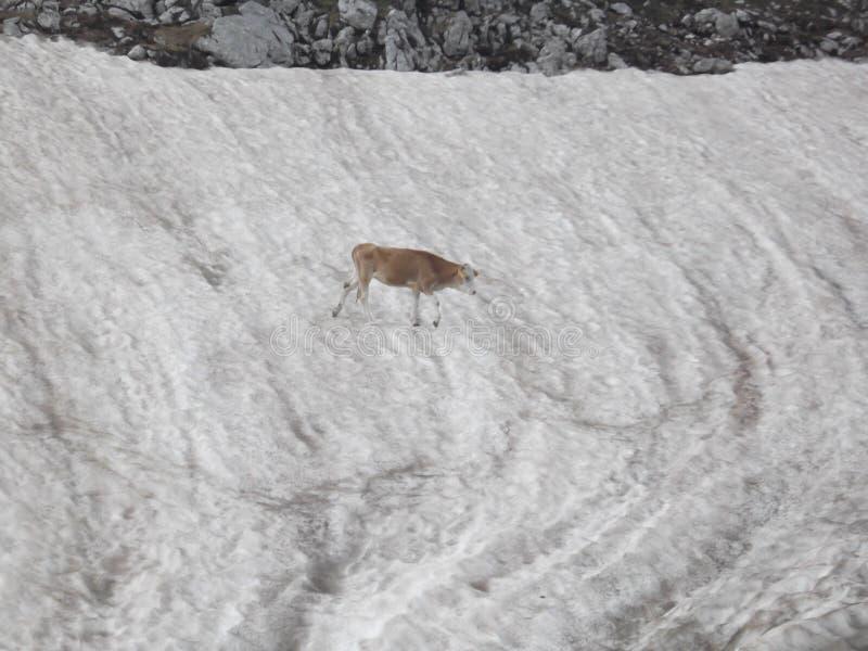 在雪补丁的小牝牛 图库摄影