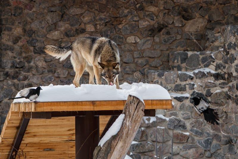 在雪道的美丽的狼 免版税库存图片