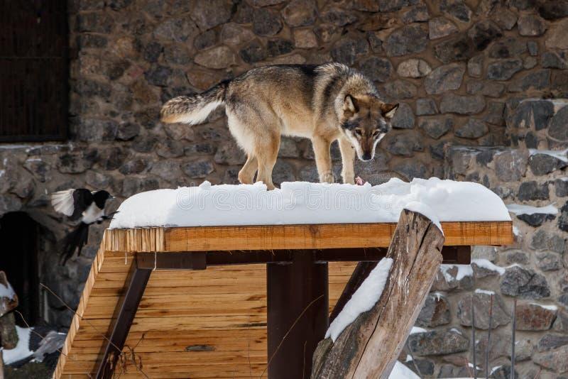 在雪道的美丽的狼 库存图片