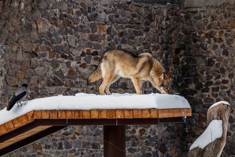 在雪道的美丽的狼 库存照片