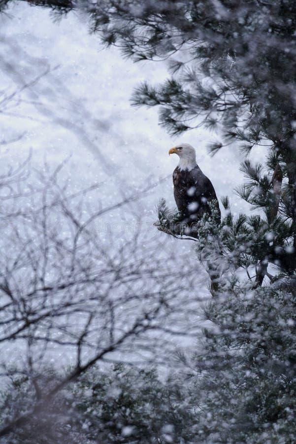 在雪风暴的白头鹰 免版税库存照片