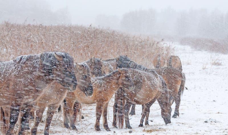在雪风暴的Konik马 库存图片