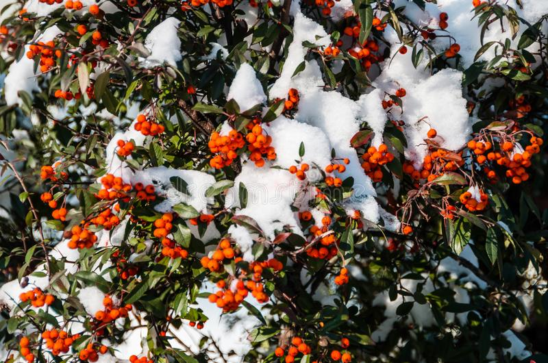 在雪,灌木下的橙色莓果在冬天 免版税图库摄影
