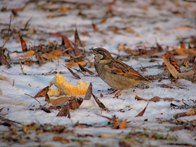 在雪,特写镜头的饥饿的麻雀 库存照片