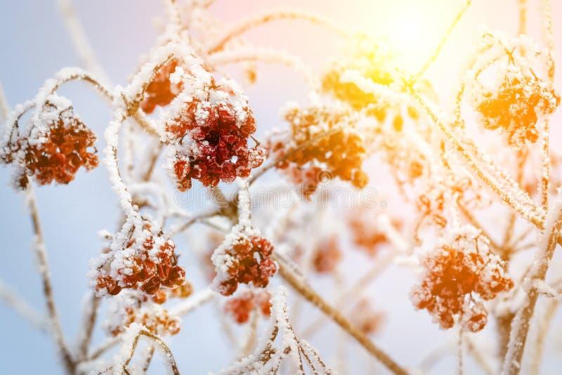在雪,雪,背景,山脉灰,山楂树下的红色莓果在好日子 库存照片