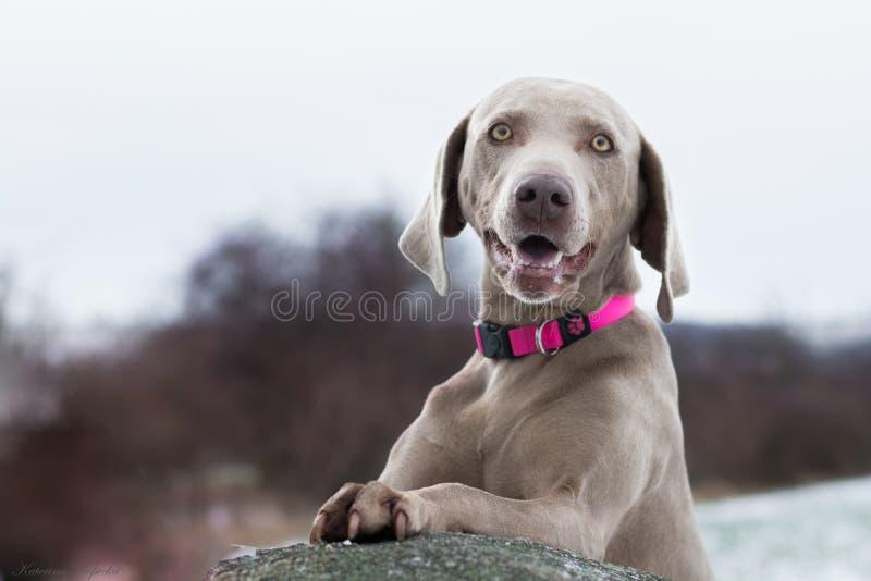 在雪O的Weimaraner狗: 图库摄影