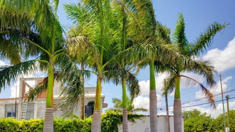 在雷诺萨,墨西哥的棕榈树 库存图片