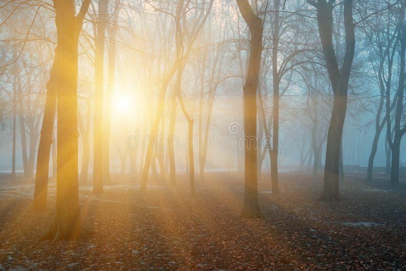 在雾和太阳的树在一个早期的秋天早晨 树,雾在公园 太阳和雾在森林秋天背景中 免版税库存照片
