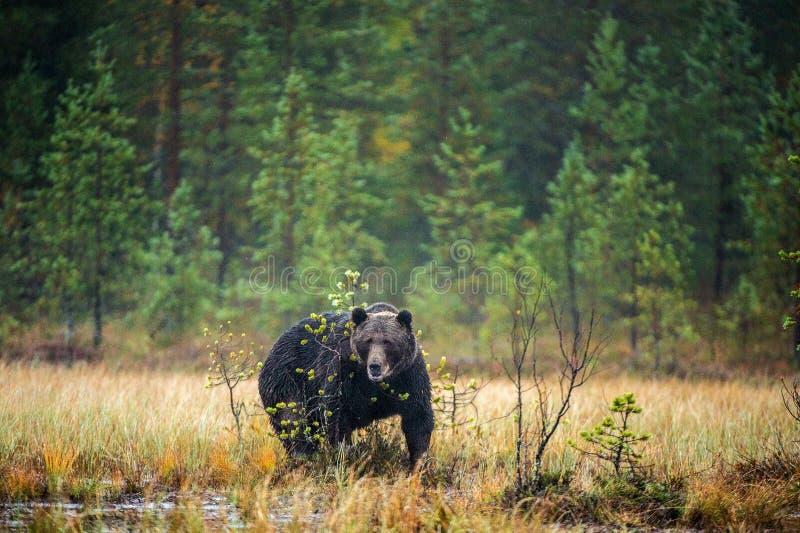 在雾的一头棕熊在沼泽 成人大棕熊男性 科学名字:熊属类arctos 库存照片