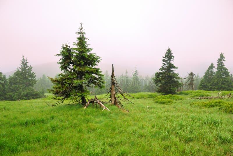 在雾的云杉的树在山 图库摄影
