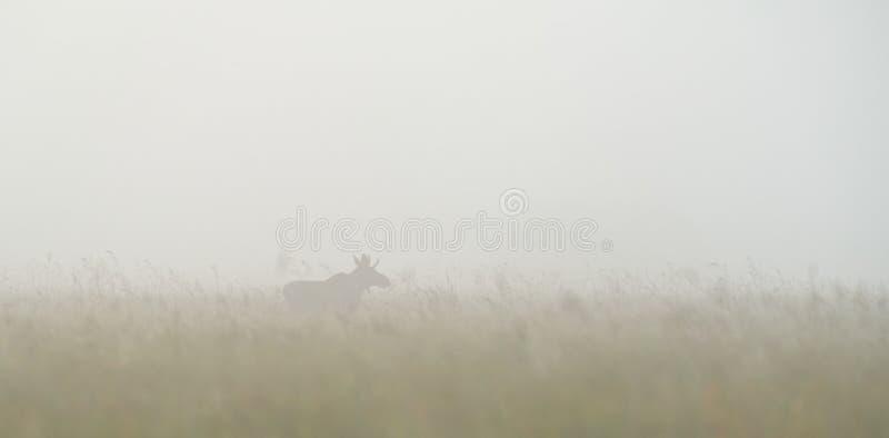 在雾的公牛麋 库存照片
