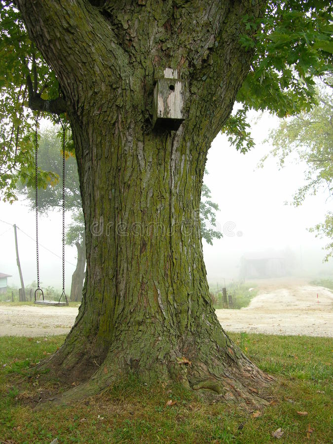 Download 在雾的槭树 库存照片. 图片 包括有 绿色, 青苔, 叶子, 农场, 结构树, 戏水盆, 摇摆, 大麦 - 59106266