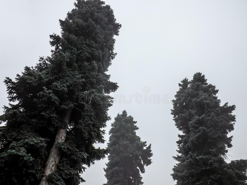 在雾的毛皮树在灰色天空背景 免版税图库摄影