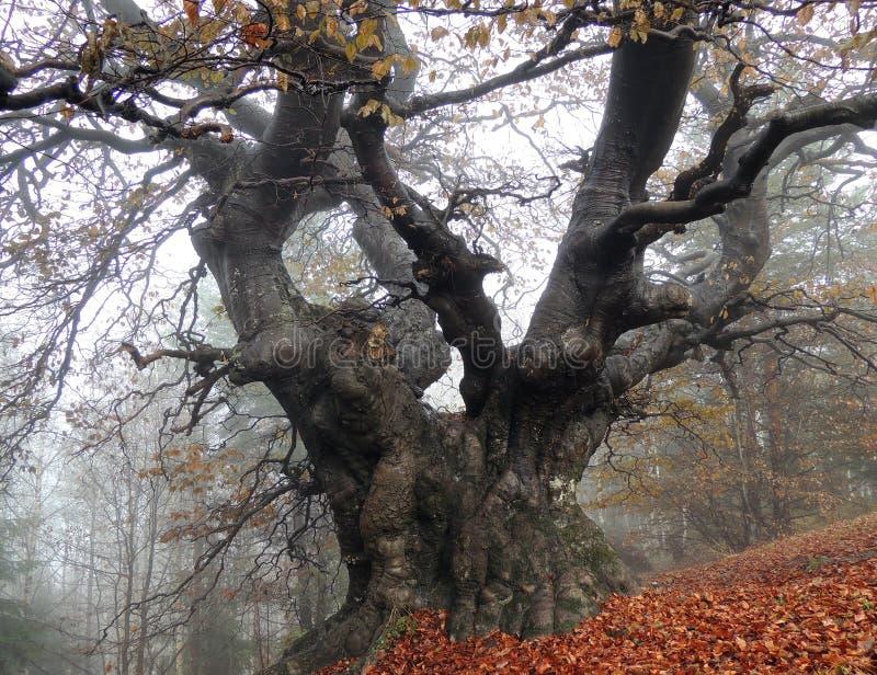 在雾的百岁人山毛榉树 图库摄影