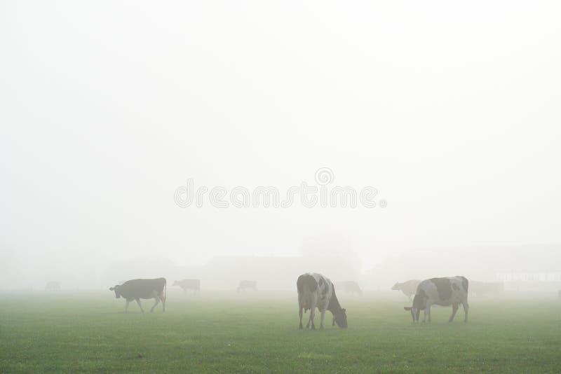 在雾的荷兰母牛 免版税图库摄影