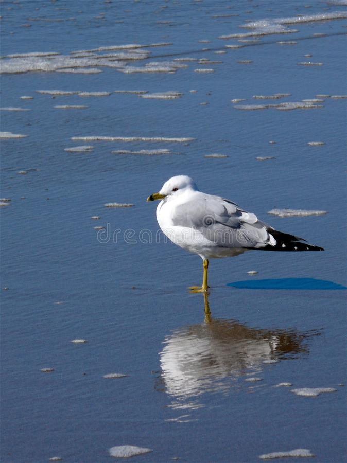 在霍尔顿海滩的海鸥 库存图片