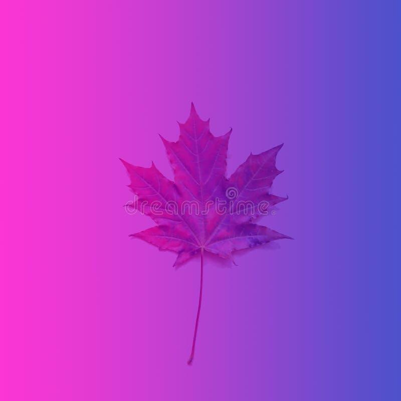 在霓虹颜色定调子的秋天枫叶–桃红色,紫罗兰蓝色 免版税库存照片