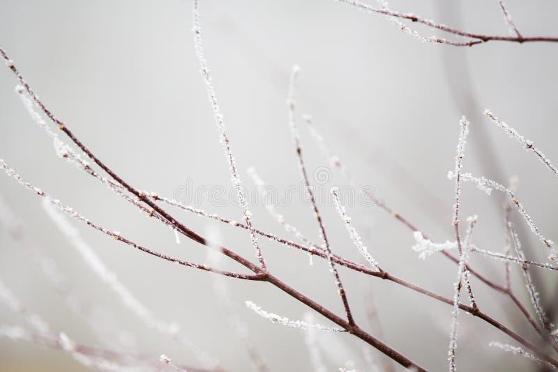 在霜报道的小束的棕色树枝 库存图片