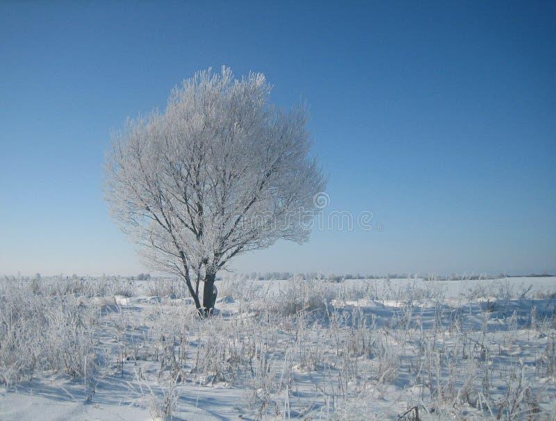 在霜的偏僻的树在空的积雪的干草原在一寒冷冬天中间在一个晴天 库存照片