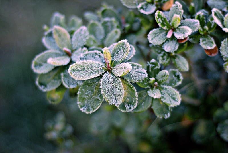 在霜的杜娟花 图库摄影