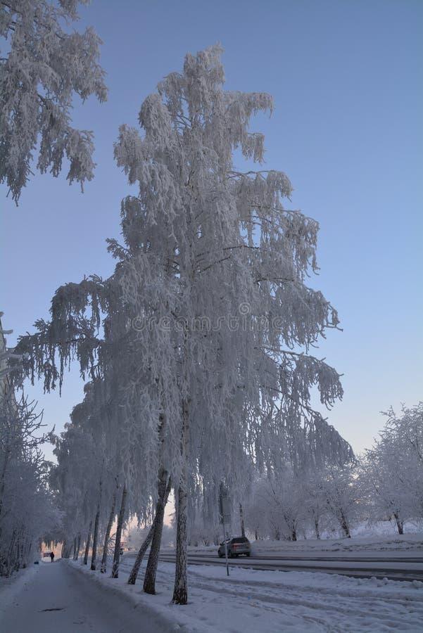 在霜的桦树 库存图片