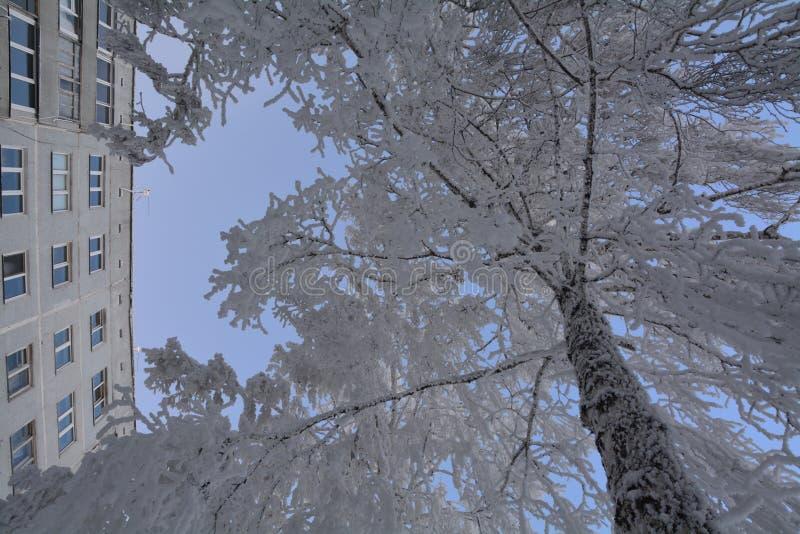 在霜的桦树 免版税库存照片