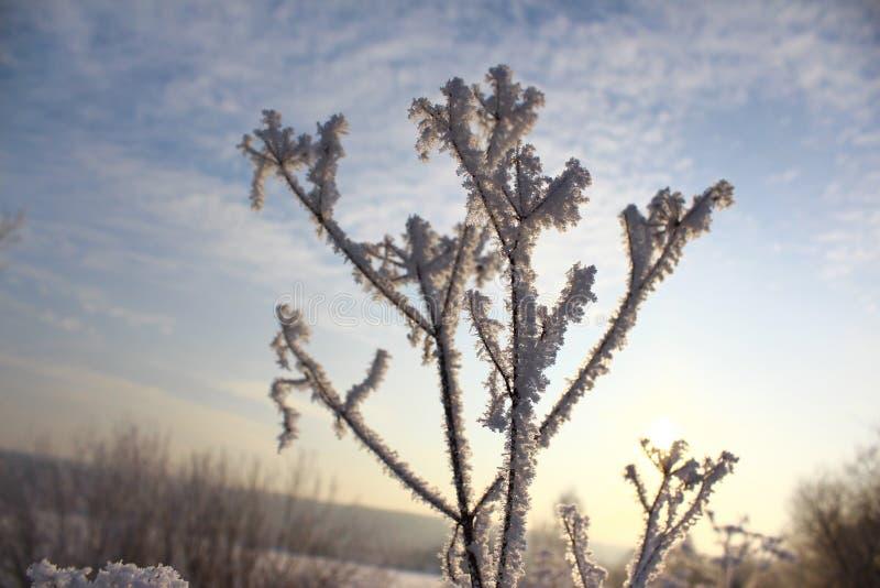 在霜的草在黎明的背景 免版税库存图片