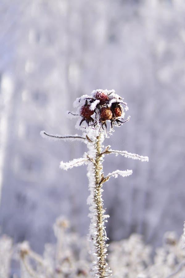 在霜盖的狗玫瑰在最后冬天的 免版税库存图片