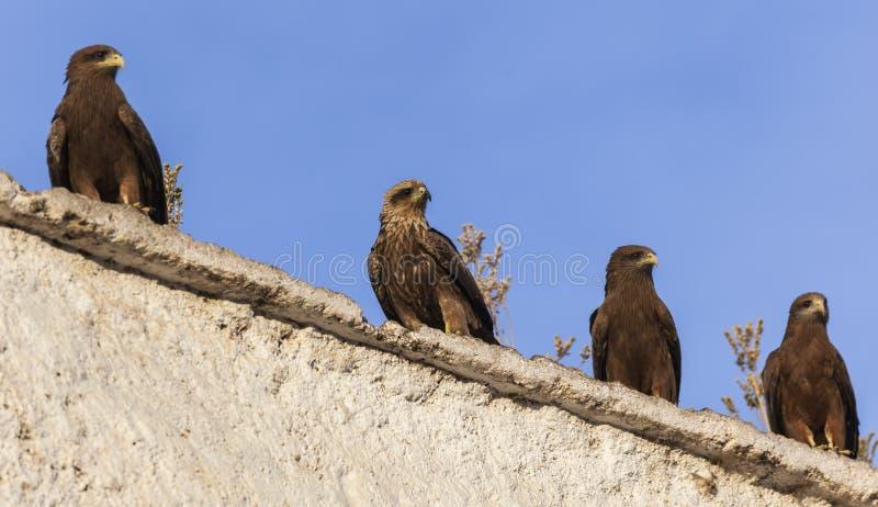 在露天屠杀墙壁上的Lanner猎鹰在市Jugol 哈勒尔 埃塞俄比亚 图库摄影