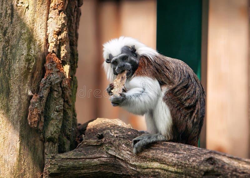 在露天的棉花头等的绢毛猴 图库摄影