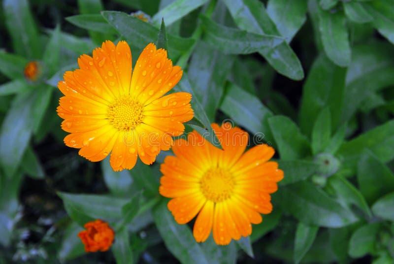 在露水下落的明亮的橙色金盏草万寿菊花  库存图片