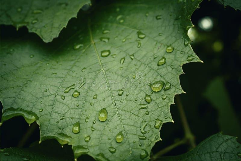 在露水下落的绿色叶子  库存图片