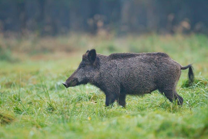 在露水被透湿的草的野公猪母猪 图库摄影