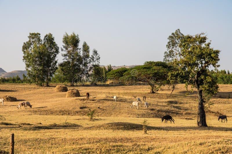 在青尼罗河秋天附近的婆罗门或封牛公牛,Tis-Isat在埃塞俄比亚 库存图片