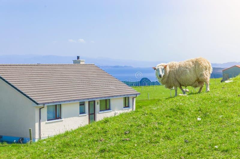 在青山的白色苏格兰绵羊在房子附近 免版税库存图片