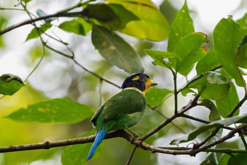 在青绿黄色栖息的长尾的Broadbill鸟在树 免版税图库摄影