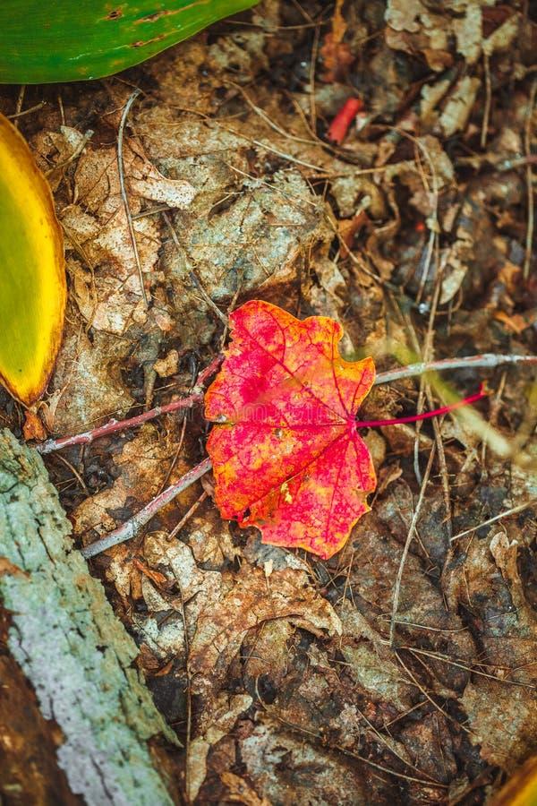 在青苔和叶子的秋天红色叶子 免版税库存图片