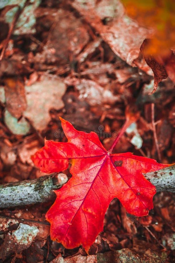 在青苔和叶子的秋天红色叶子 免版税库存照片