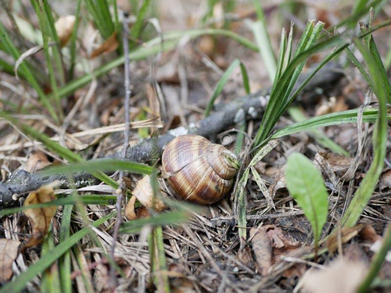 在青苔和绿草的葡萄蜗牛在一个晴朗的夏日 大地球腹足动物的软体动物 农业虫纤巧 ?? 库存照片