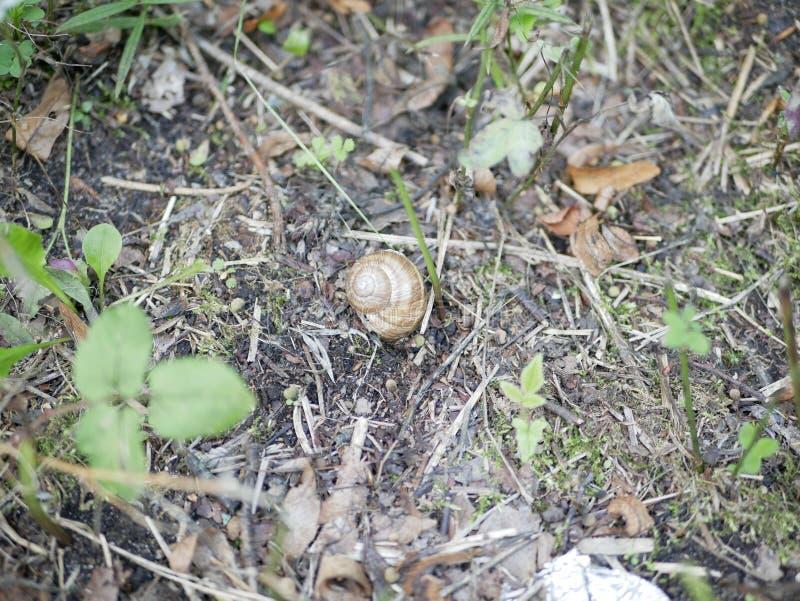 在青苔和绿草的葡萄蜗牛在一个晴朗的夏日 大地球腹足动物的软体动物 农业虫纤巧 ?? 库存图片