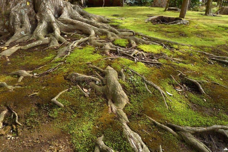 在绿色青苔土壤的老树根