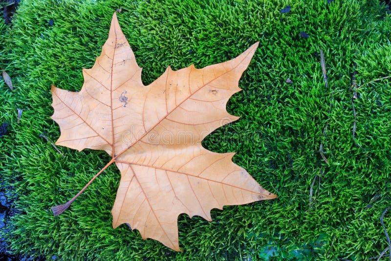 在青苔的叶子 免版税库存照片
