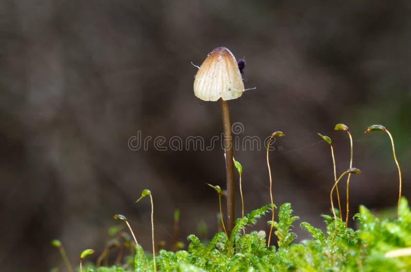 在青苔的微小的蘑菇 免版税库存照片