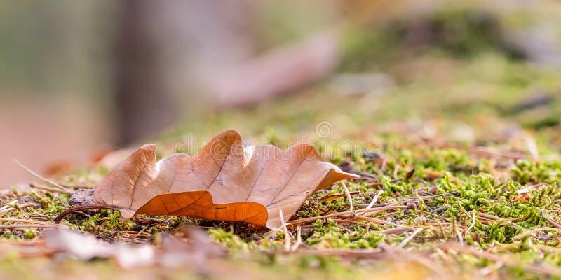 在青苔的橡木叶子 库存照片