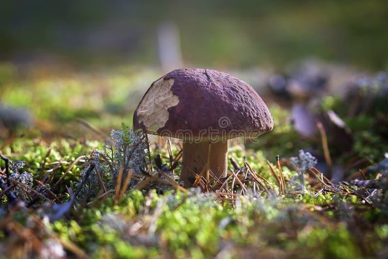 在青苔的蘑菇 免版税库存图片
