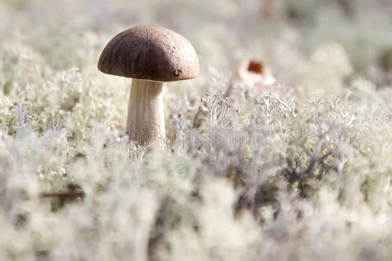 在青苔的蘑菇 库存照片