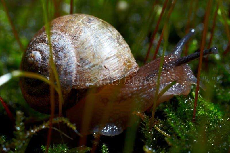 在青苔的蜗牛 库存照片