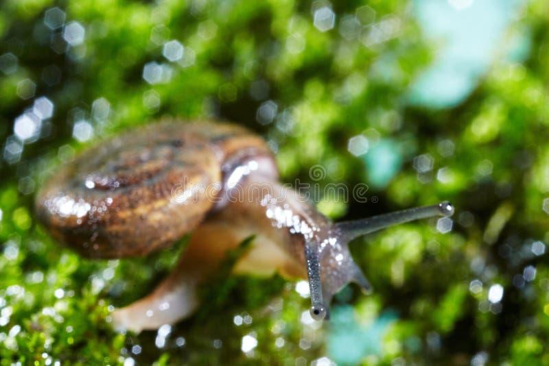 在青苔的蜗牛 库存图片